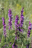 Fleurs bleues de vesce Image stock