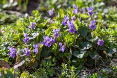 Fleurs bleues de violettes Images stock