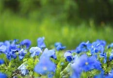 Fleurs bleues en gros plan sur un fond d'herbe verte Images libres de droits