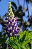 Fleurs bleues et blanches Image libre de droits