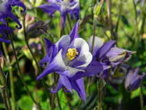 Fleurs bleues et blanches d'ancolie Photos stock