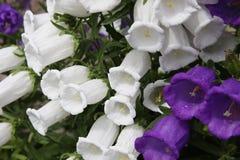 Fleurs bleues et blanches de la cloche géante Image stock