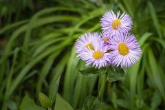 Fleurs bleues et jaunes de marguerite Image stock