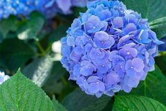 Fleurs bleues et violettes de hortensia Photographie stock