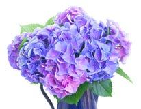 Fleurs bleues et violettes de hortensia Images libres de droits