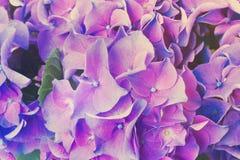 Fleurs bleues et violettes de hortensia Photo stock