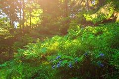 Fleurs bleues, fougères, et d'autres herbes de forêt Image libre de droits