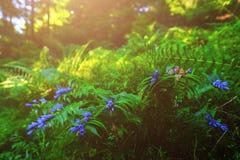 Fleurs bleues, fougères, et d'autres herbes de forêt Photos stock
