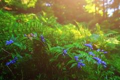 Fleurs bleues, fougères, et d'autres herbes de forêt Photographie stock libre de droits