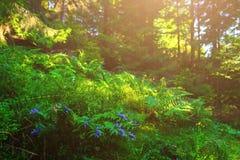 Fleurs bleues, fougères, et d'autres herbes de forêt Images libres de droits
