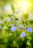 Fleurs bleues gentilles Photographie stock libre de droits
