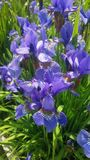 Fleurs bleues gentilles dans mon jardin iryses polonais Images libres de droits