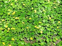Fleurs bleues jaunes, fleur bleue d'or, tapis des fleurs Photographie stock