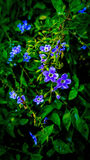 Fleurs bleues minuscules Photos libres de droits