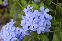 fleurs bleues ou violettes Photographie stock