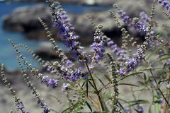 Fleurs bleues pourpres Image stock