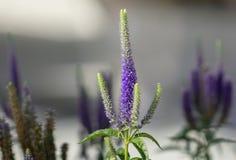 Fleurs bleues pourpres de longifolia de Veronica image libre de droits