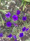 Fleurs bleues/pourpres lumineuses Images libres de droits