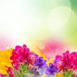 Fleurs bleues, roses et jaunes de freesia illustration stock
