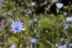 Fleurs bleues sensibles de chicorée Image libre de droits