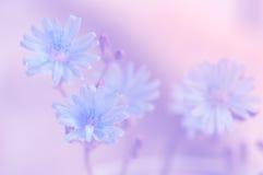Fleurs bleues sensibles sur un fond rose L'image artistique douce de l'été fleurit en plein air Photographie stock libre de droits
