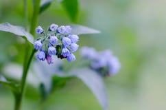 Fleurs bleues sur le fond brouillé Image stock