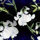 Fleurs, bourgeons, branches du pois doux Composition décorative sur un fond d'aquarelle watercolor Motifs floraux Patte sans cout Image libre de droits