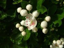 Fleurs britanniques d'aubépine photographie stock