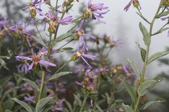 Fleurs brumeuses de montagne pourpre images libres de droits