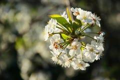 Fleurs Cerise Photos libres de droits