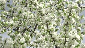 Fleurs Cherry Tree avec Gray Sky Background Bourdonnement in/out 4K UltraHD, UHD banque de vidéos