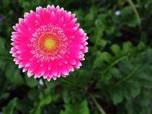 Fleurs, chrysanthème de fleurs, papier peint de chrysanthème, Images stock