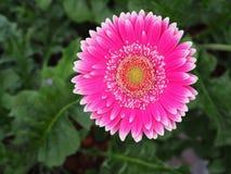 Fleurs, chrysanthème de fleurs, papier peint de chrysanthème, Image libre de droits