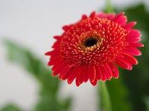 Fleurs, chrysanthème de fleurs, papier peint de chrysanthème, Images libres de droits