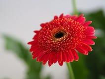 Fleurs, chrysanthème de fleurs, papier peint de chrysanthème, Photo stock