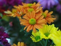 Fleurs, chrysanthème de fleurs, papier peint de chrysanthème, Photos libres de droits