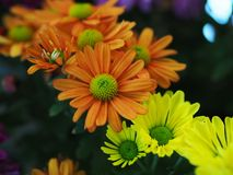 Fleurs, chrysanthème de fleurs, papier peint de chrysanthème, Photo libre de droits