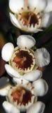 Fleurs - cire de Geraldton Photographie stock libre de droits