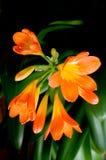 Fleurs Clivia. Image libre de droits