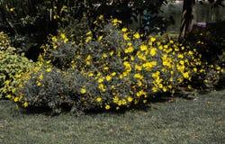 Fleurs colorées étonnantes de ressort en nature image libre de droits