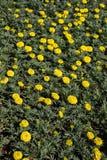 Fleurs colorées étonnantes de ressort en nature image stock