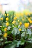Fleurs colorées beau par ressort dans le jardin Photos stock