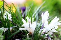 Fleurs colorées beau par ressort dans le jardin Images libres de droits