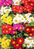 Fleurs colorées comme fond floral photographie stock