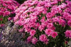 Fleurs colorées d'automne Photographie stock libre de droits