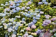 Fleurs colorées d'hortensia Photographie stock