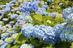Fleurs colorées d'hortensia Photo stock