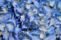 Fleurs colorées d'hortensia Images libres de droits