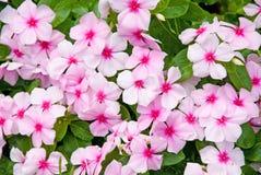 Fleurs colorées d'Impatiens photo stock