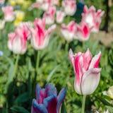 Fleurs colorées dans la fleur, fond de ressort photos stock